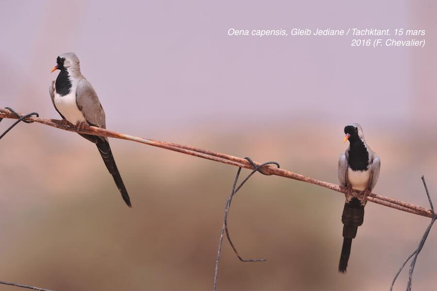 Namaqua Doves / Tourterelles masquées (Oena capensis), Tachektent / Gleib Jediane, Oued Dahab, 15 March 2016 (Franck Chevalier)