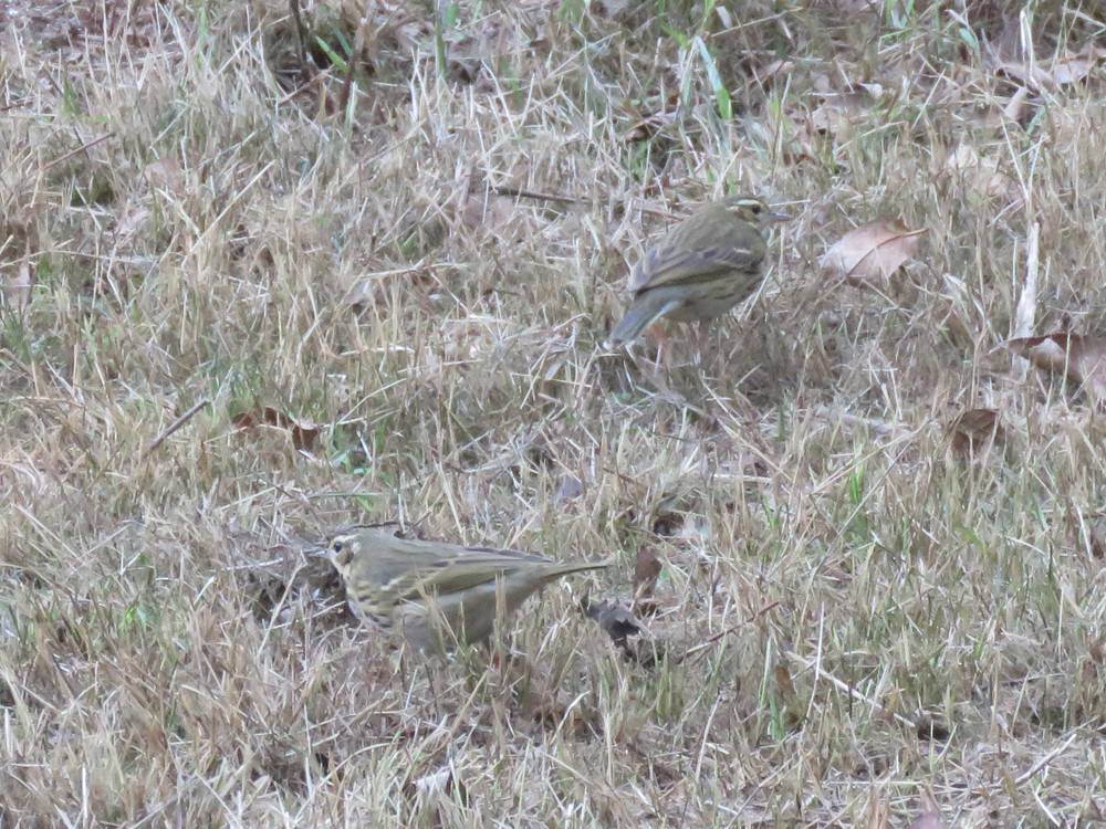 Three Olive-backed Pipits are apparently wintering at Jardin d'Essais Botanique, Rabat, Morocco