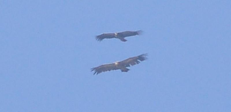 White-backed Vulture / Vautour africain & Griffon Vulture / Vautour fauve, Jbel Moussa, July 2017