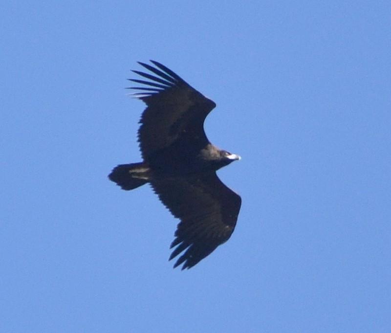 Cinereous Vulture / Vautour moine (Aegypius monachus), near Tanger-Med Port, 10 Nov. 2017 (Rachid El Khamlichi).