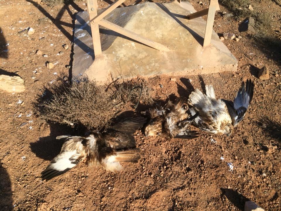 Electrocuted Atlas Long-legged Buzzards (Buteo rufinus cirtensis), Guelmim region, November 2017 (Karim Laïdi)