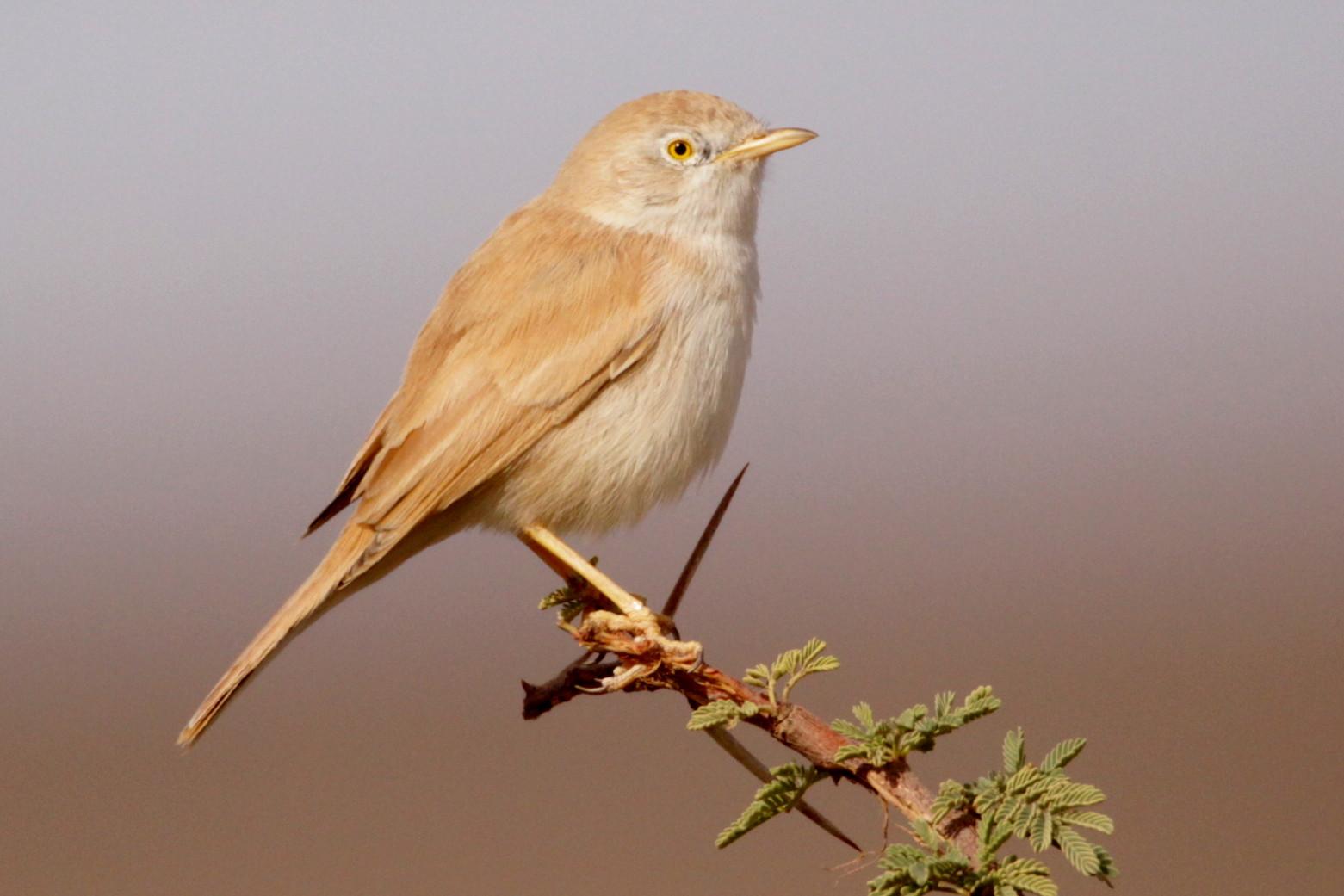 African Desert Warbler (Sylvia deserti), between Rissani and Merzouga (Kris Webb).