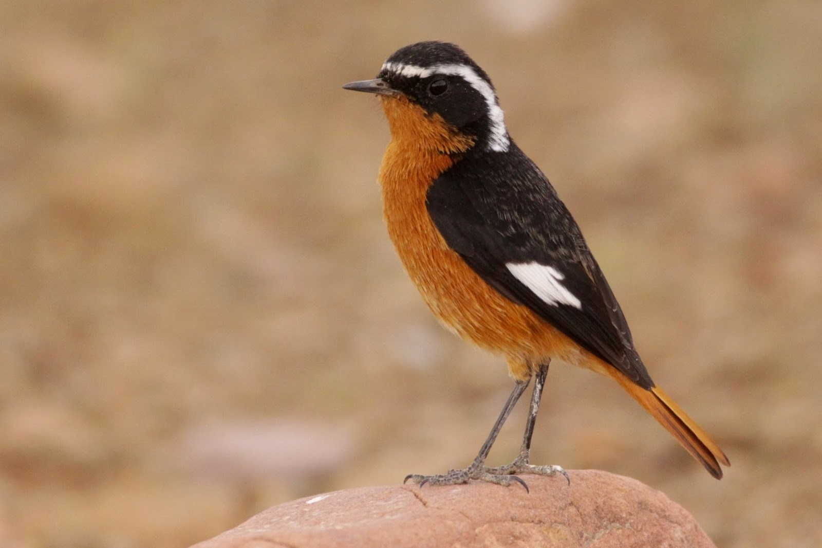 Moussier's Redstart (Phoenicurus moussieri), Tourza, near Alnif (Kris Webb)