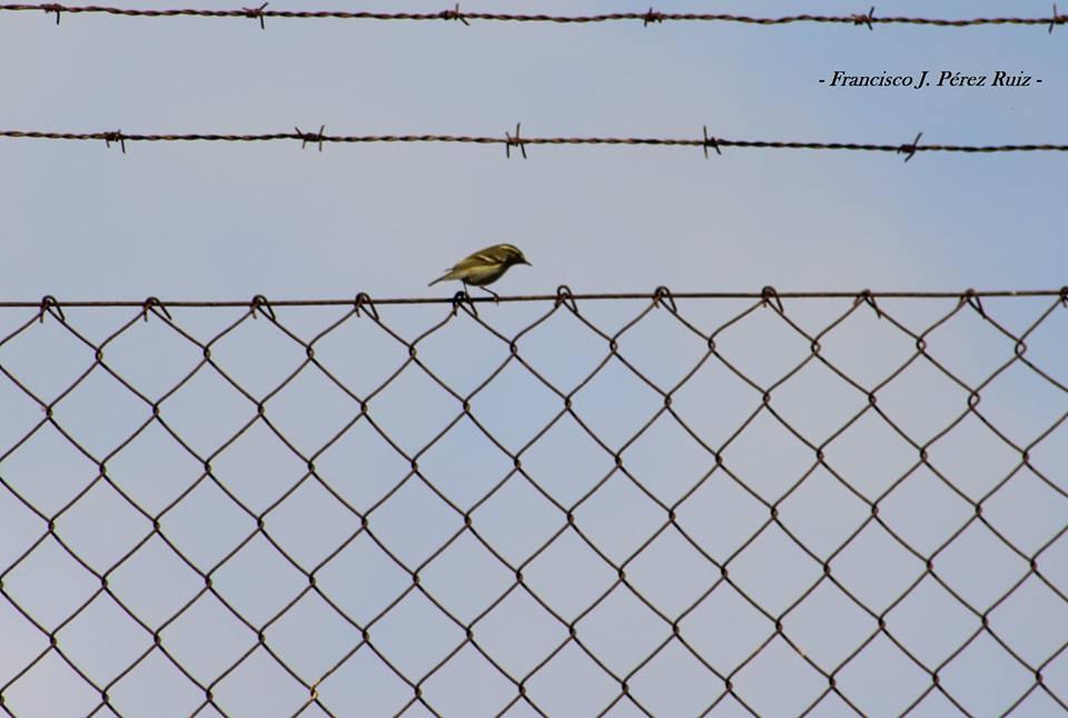 Yellow-browed Warbler / Pouillot à grands sourcils (Phylloscopus inornatus), Melilla, 15 Oct. 2017 (F. J. Pérez Ruiz / Aves y Natura Norteafricanas blog)