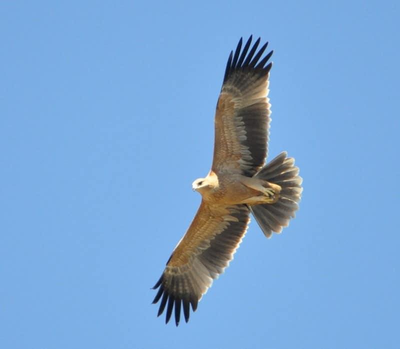 Spanish Imperial Eagle / Aigle ibérique (Aquila adalberti), near Tanger-Med port, 12 September 2017 (Rachid El Khamlichi).