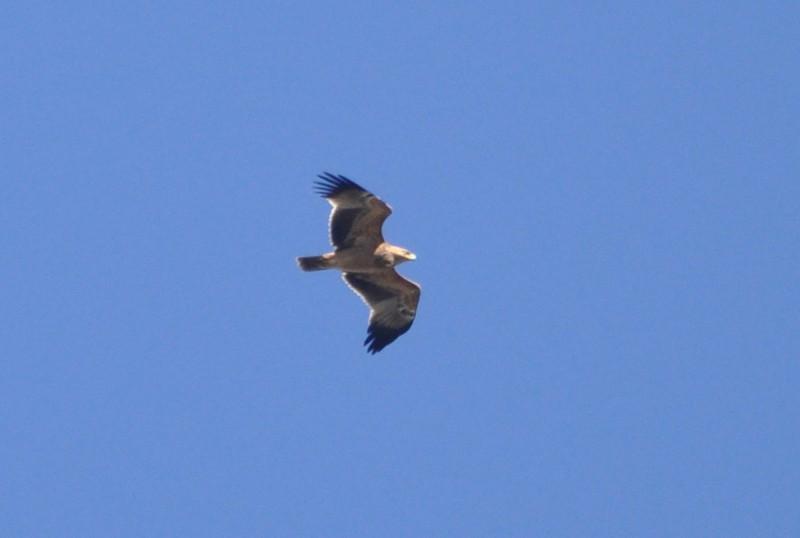 Spanish Imperial Eagle / Aigle ibérique (Aquila adalberti), near Tanger-Med port, northern Morocco, 10 November 2017 (Rachid El Khamlichi).