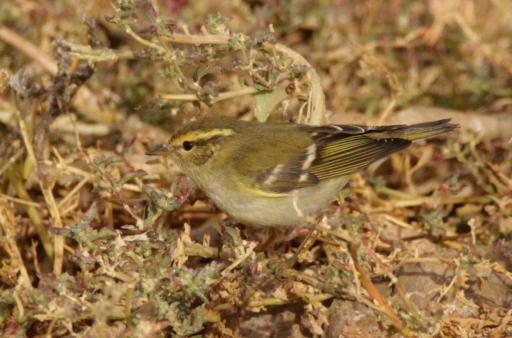 Yellow-browed Warbler / Pouillot à grands sourcils (Phylloscopus inornatus), Tagdilt Track, 1 Dec. 2017 (Kris Webb).