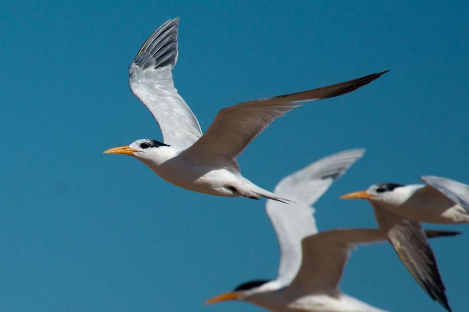 African Royal Terns (Thalasseus albididorsalis), Dakhla Bay, Western Sahara, Morocco, 17 March 2018 (Arnoud B. van den Berg)