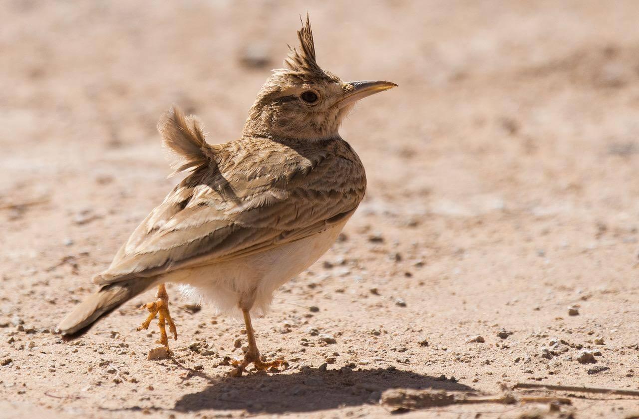 'Short-billed' Maghreb Lark (Galerida macrorhyncha), Aousserd village, Western Sahara, Morocco, 18 March 2018 ( Arnoud B. van den Berg)