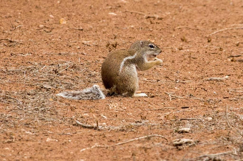 Adult striped ground squirrel photographed at Tadouarte Ida Ou Mhand, near Biougra, Morocco (Cătălin Stanciu)