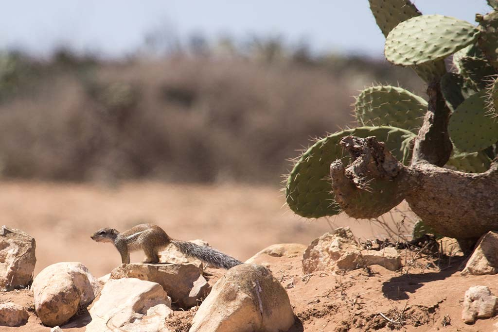 Striped ground squirrel in its habitat at Sidi Bibi south of Agadir, Morocco (Cătălin Stanciu).