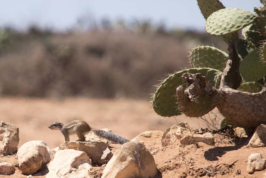 Striped ground squirrel in its habitat at Sidi Bibi south of Agadir, Morocco (Cătălin Stanciu).
