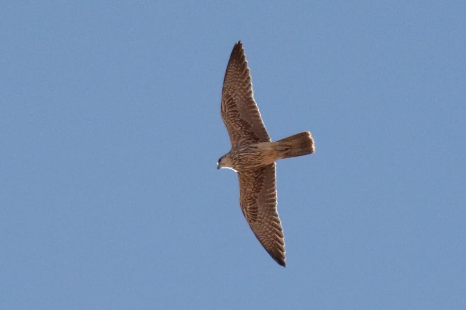 Saker Falcon / Faucon sacre (Falco cherrug), south of Tangier, Morocco, 14 Sep. 2012 (Javier Elorriaga).