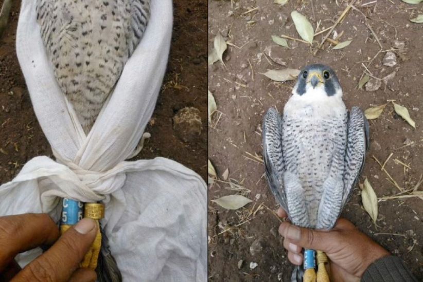 Finnish Peregrine (Falco peregrinus) rescued from poachers in Morocco