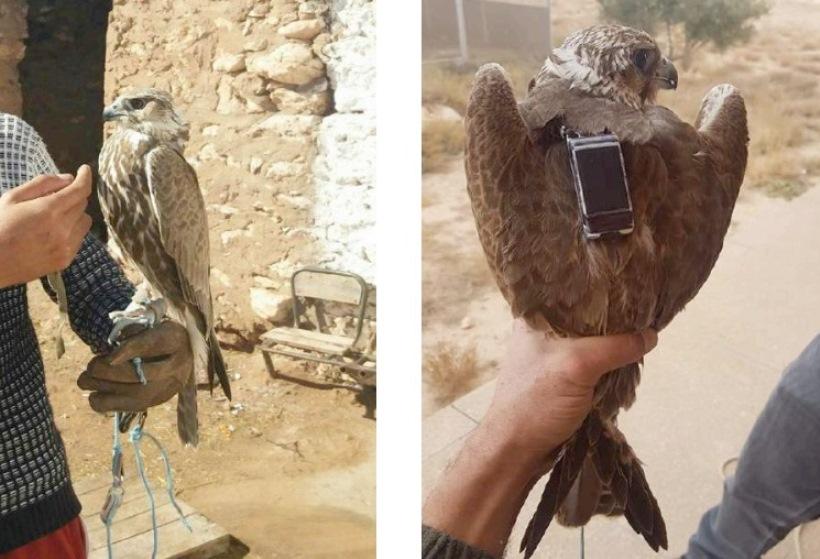 Saker Falcon / Faucon sacre (Falco cherrug) rescued from poachers in Morocco