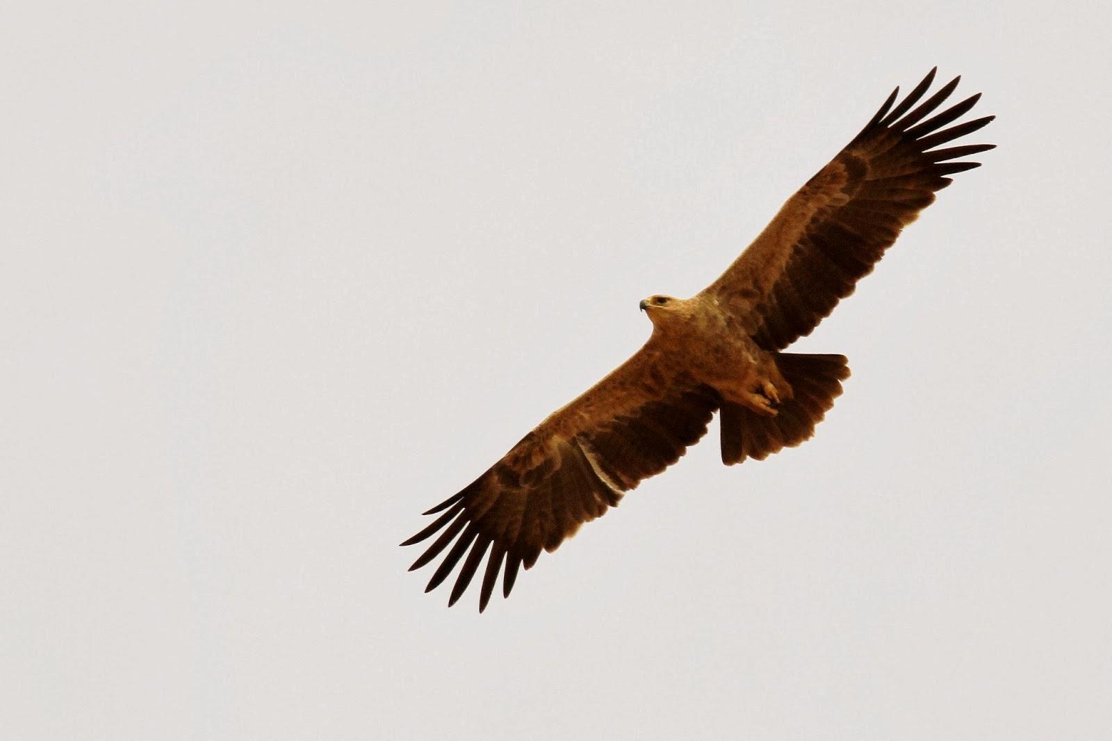 Tawny Eagle (Aquila rapax), northern Senegal, 26 Jan. 2014 (Frédéric Bacuez/Ornithondar).