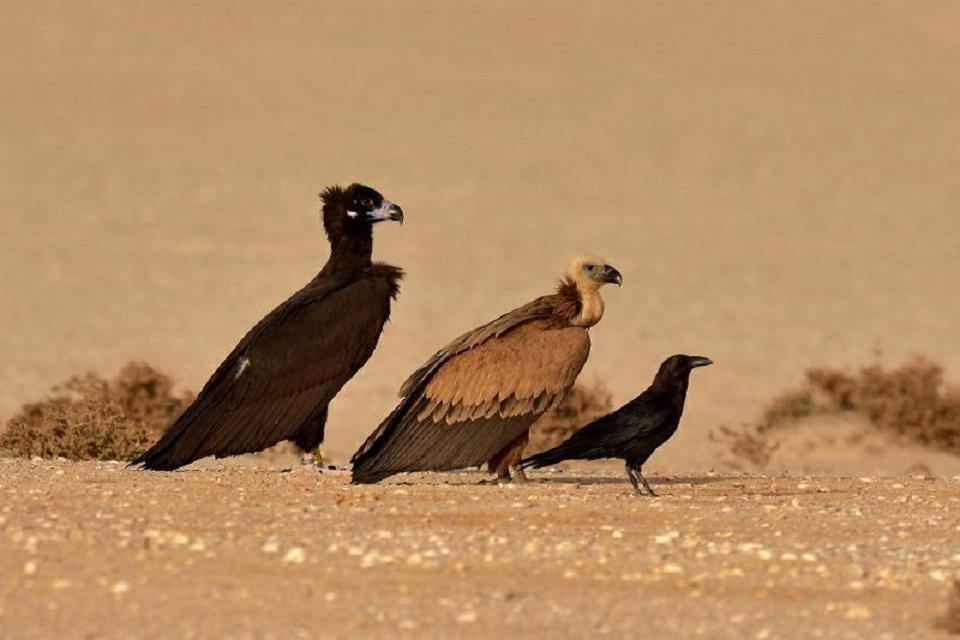 Cinereous Vulture / Vautour moine (Aegypius monachus), Iouik, Banc d'Arguin National Park, Mauritania (Rob Honing).