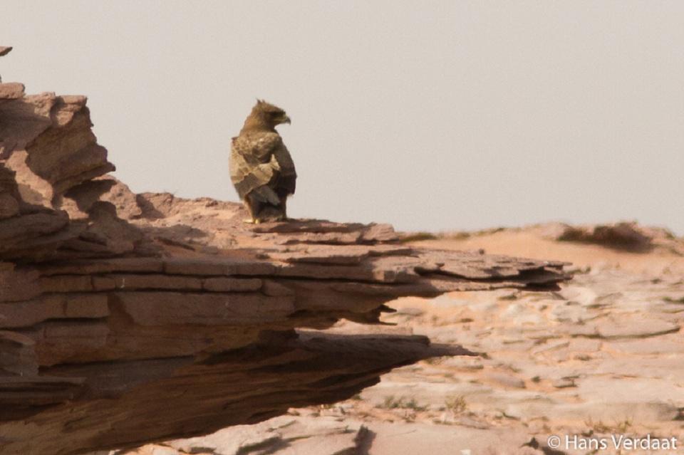 Wahlberg's Eagle (Hieraaetus wahlbergi), Cap Blanc peninsula, Mauritania, 23 Sep. 2014 (Hans Verdaat).