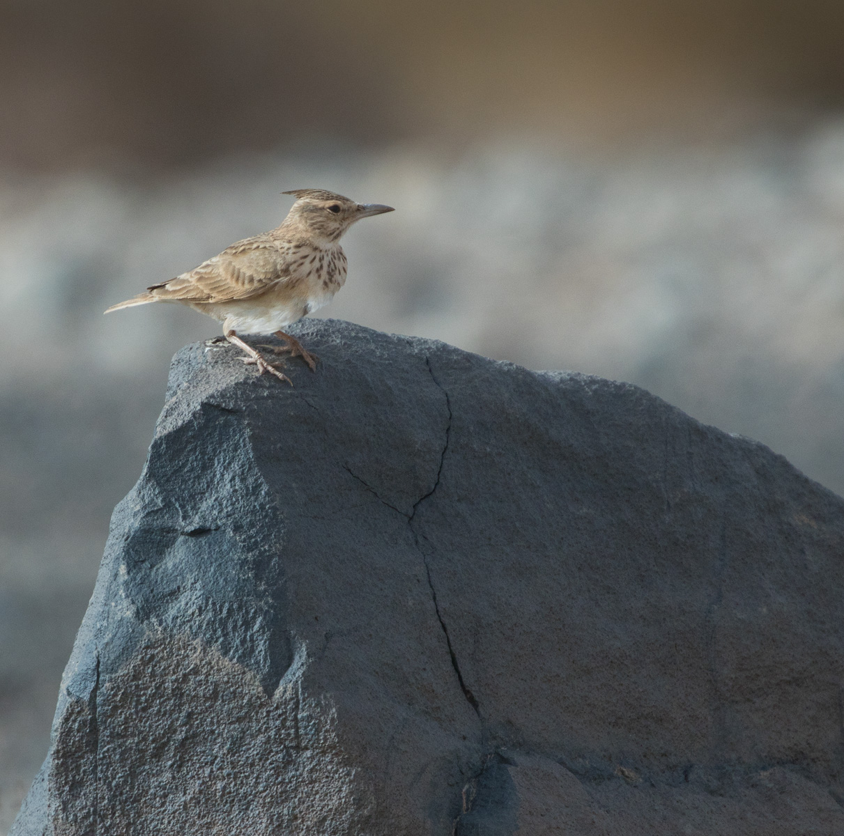 'Long-billed' Crested Lark, probably belonging to the senegallensis group of Galerida cristata, Aousserd, western Sahara, Morocco, 21 Jan. 2018 (Lars Petersson).