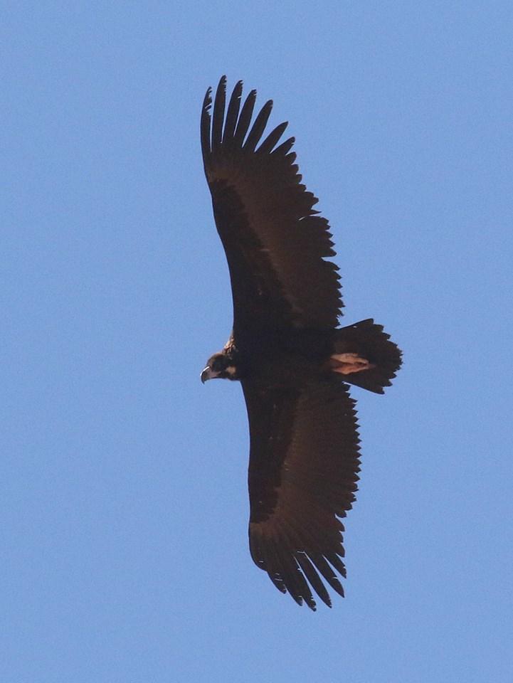 Cinereous Vulture / Vautour moine (Aegypius monachus), Sagata, Senegal; 26 Feb. 2018 (Wietze Janse / Banc d'Arguin Reizen).