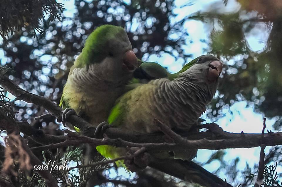 Accouplement de Conures veuves (Myiopsitta monachus), Parc Murdoch, Mers Sultan, Casablanca; 10 mars 2018 (Said Farhi).