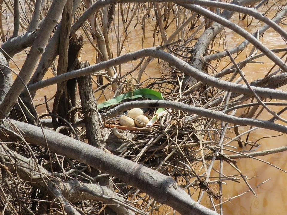 Eurasian Spoonbill nest with three eggs / Nid de Spatule blanche avec trois œufs, Barrage Oued El-Maleh, March 2018 (Rhimou El Hamoumi).