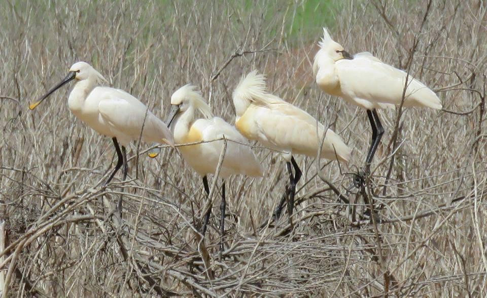 Eurasian Spoonbills / Spatules blanches (Platalea leucorodia), Barrage Oued El-Maleh, Casablanca region, Morocco, March 2018 (by Rhimou El Hamoumi).