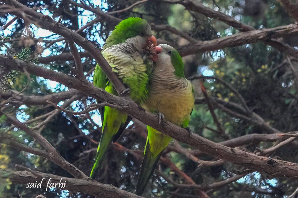 Courtship of Monk Parakeets (Myiopsitta monachus), Parc Murdoch, Mers Sultan, Casablanca; 10 March 2018 (Said Farhi).