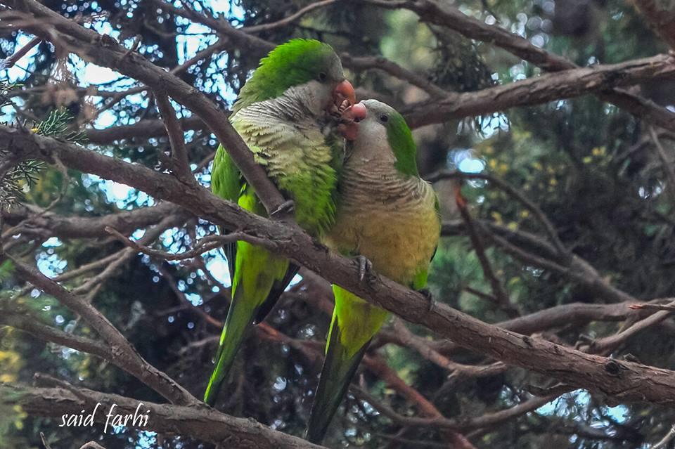 Courtship of Monk Parakeets (Myiopsitta monachus), Parc Murdoch, Mers Sultan, Casablanca; 10 March 2018 (Said Farhi).