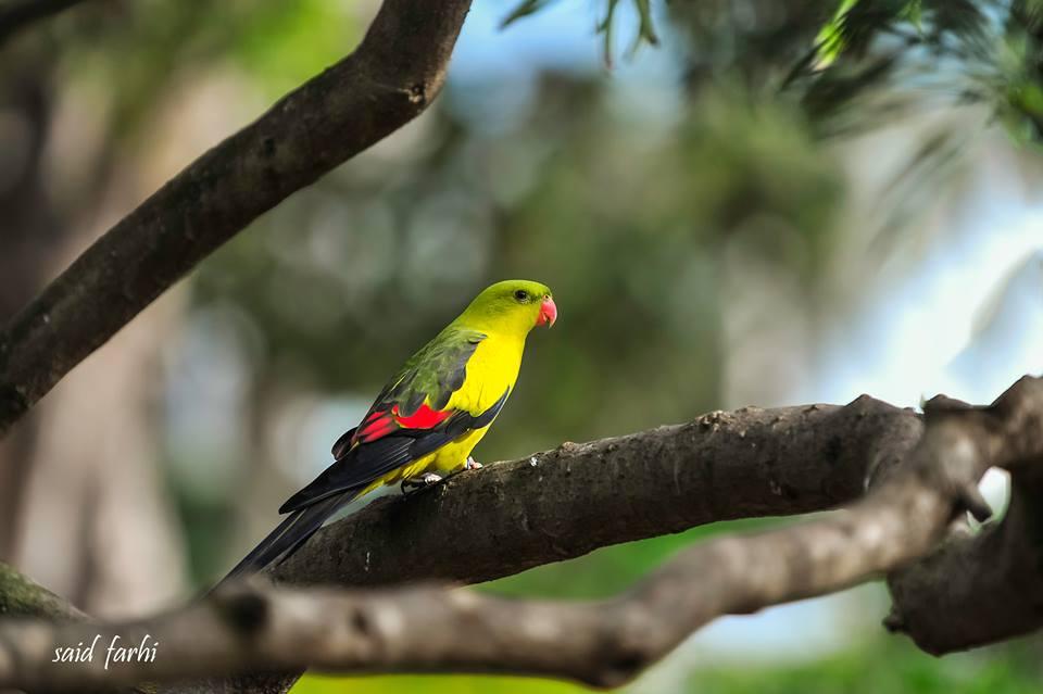 Regent Parrot / Perruche mélanure (Polytelis anthopeplus), Parc Murdoch, Mers Sultan, Casablanca; 17 March 2018 (Said Farhi).