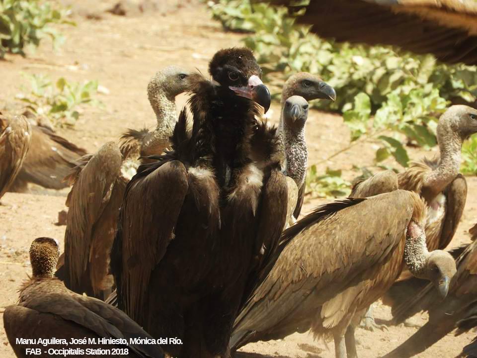 Cinereous Vulture (Aegypius monachus), Occipitalis Station, Saruja, The Gambia, 24 Feb. 2018 (Fondo de Amigos del Buitre).