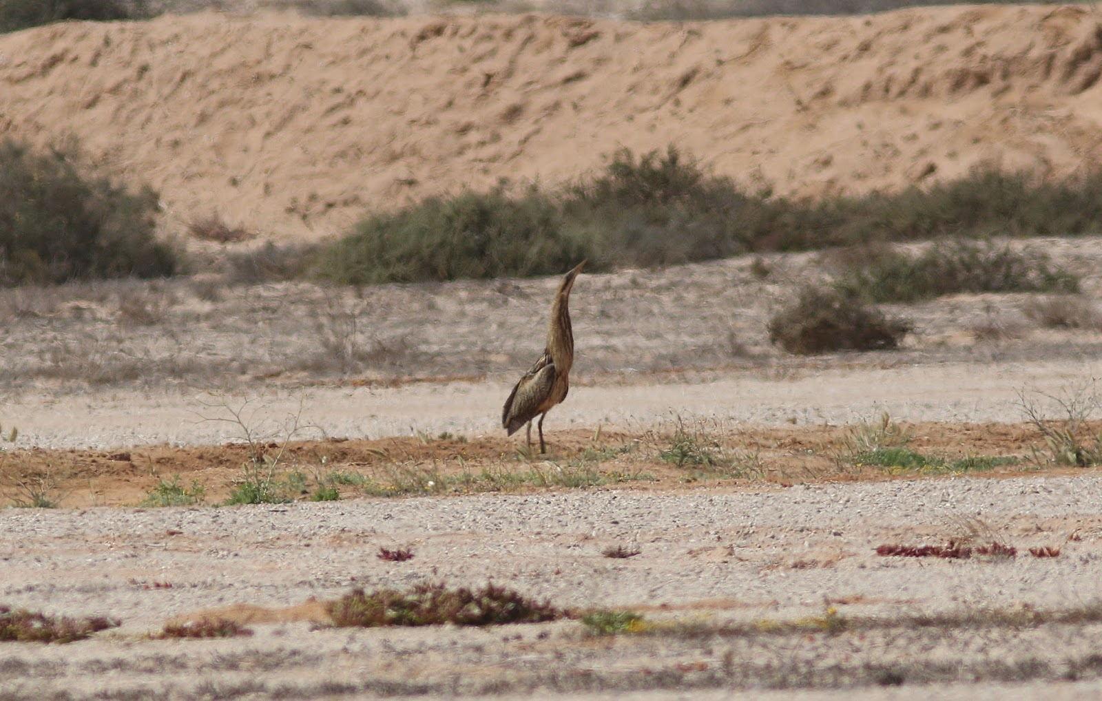 Great Bittern / Butor étoilé (Botaurus stellaris), near Dakhla, 27 March 2018 (Peter Alfrey).