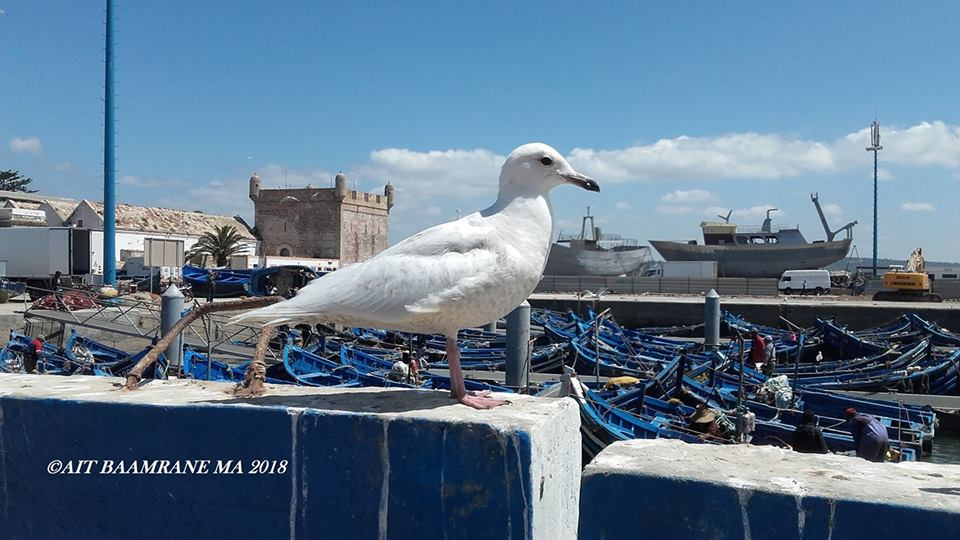 Iceland Gull / Goéland à ailes blanches (Larus glaucoides), Esssaouira, 1 April 2018 (Moulay Abdeljalil Ait Baamrane).