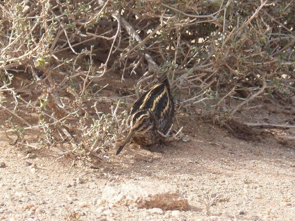 Jack Snipe / Bécassine sourde (Lymnocryptes minimus), Oued Jenna, Aousserd, 8 March 2015 (Association 'Nature Initiative').