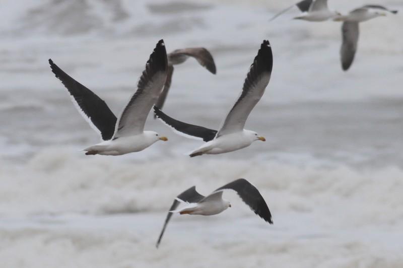 Kelp Gull / Goéland du Cap (Larus dominicanus): 2 adults with Lesser Black-backed Gulls, Akhfennir, southern Morocco, 1 April 2018 (Dufour Paul).