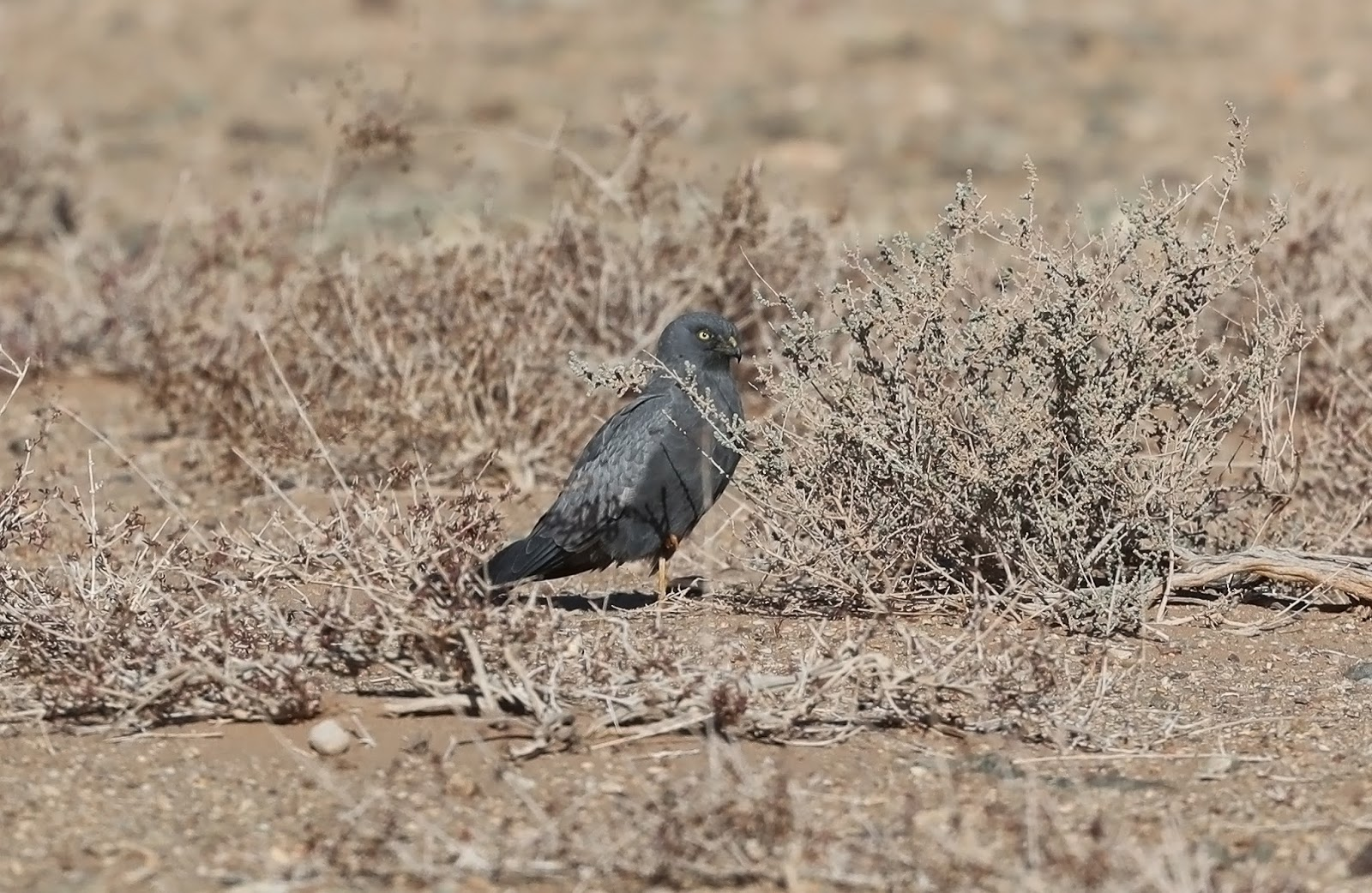 Melanistic Montagu's Harrier / Busard cendré (Circus pygargus), Oued Jenna, Aousserd, 19 March 2018 (Martin Casemore).
