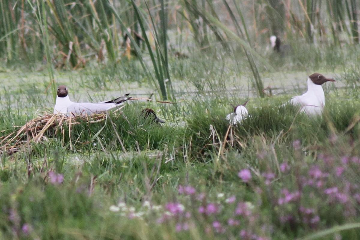 Black-headed Gulls / Mouettes rieuses (Chroicocephalus ridibundus): occupied nests, Dayet Dar Bouazza, Morocco, 19 May 2018 (Benoit Maire).