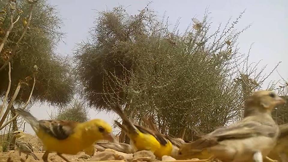 Sudan Golden Sparrows (Passer luteus), Tamanrasset region, southern Algeria, 28 July 2018 (Soufyane Bekkouche).