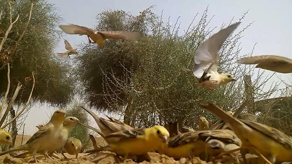 Moineaux dorés (Passer luteus), Tamanrasset, sud d'Algérie, 28 juillet 2018 (Abdelkader Beq)