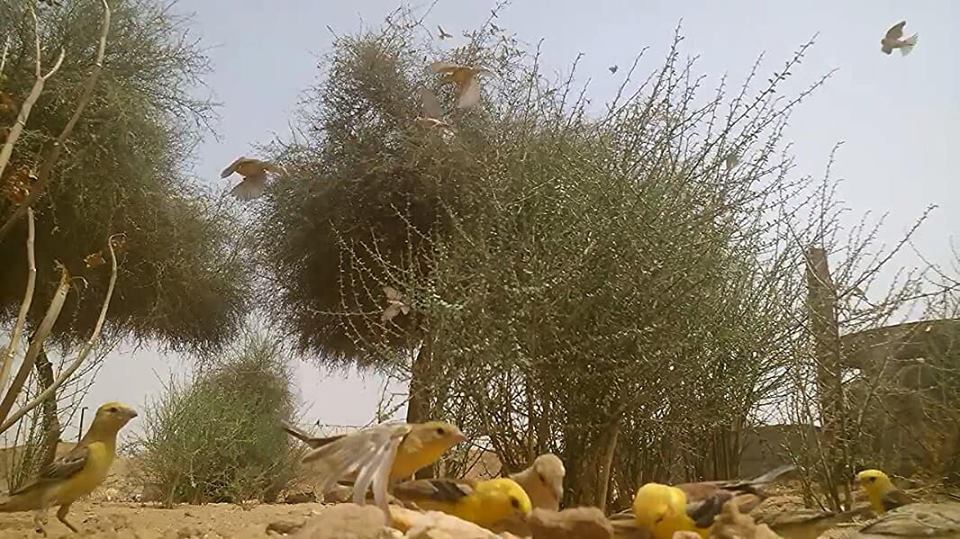 Sudan Golden Sparrows (Passer luteus), Tamanghasset region, southern Algeria, 28 July 2018 (Soufyane Bekkouche).