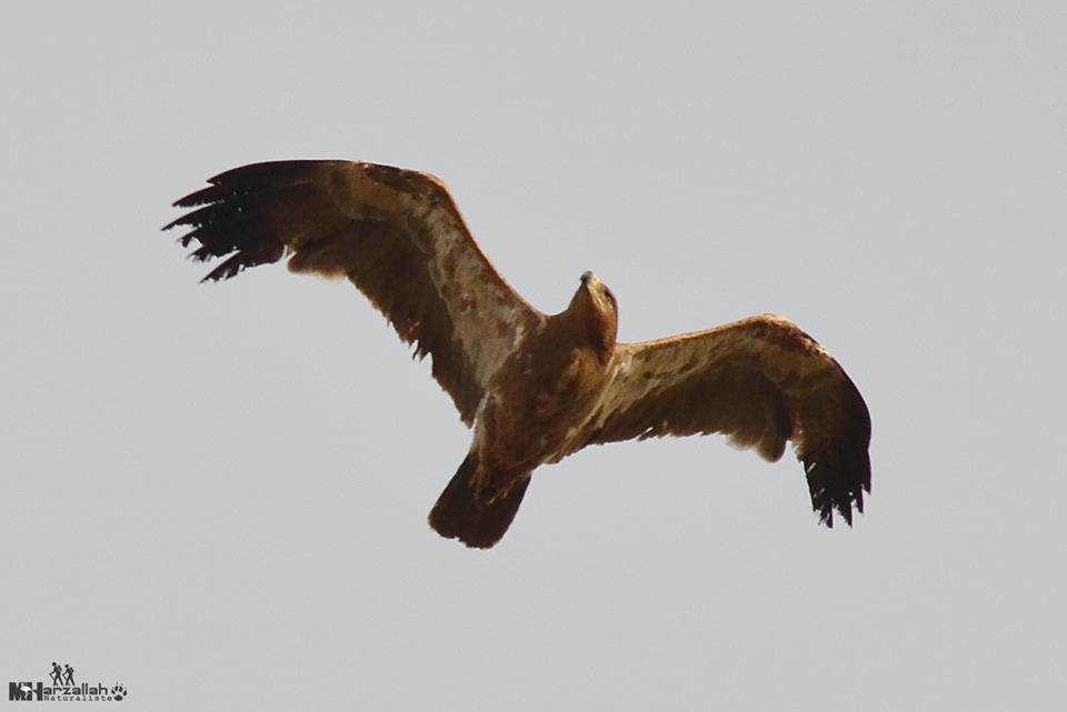 Tawny Eagle / Aigle ravisseur (Aquila rapax), north-east Algeria, 17 July 2018 (Mourad Harzallah)