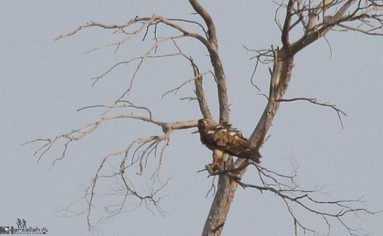 Tawny Eagle / Aigle ravisseur (Aquila rapax), north-east Algeria, 17 July 2018 (Mourad Harzallah).