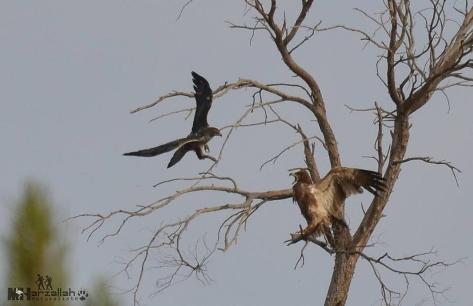 A Bonelli's Eagle harassing the Tawny Eagle / Un Aigle de Bonelli harcelant l'Aigle ravisseur, NE Algeria, 17 July 2018 (Mourad Harzallah).