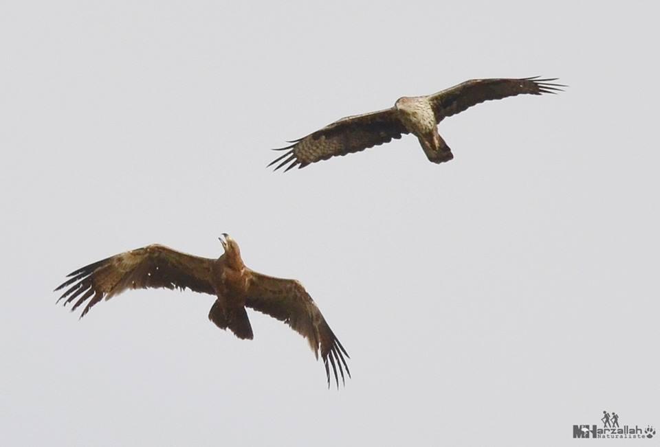 The Bonelli's Eagle continued to harass the Tawny Eagle in flight / L'Aigle de Bonelli a continué à harceler l'Aigle ravisseur en vol, NE Algeria, 17 July 2018 (Mourad Harzallah).