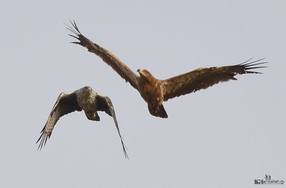 The 'fight' is almost over between the two eagles / Le 'combat' est presque fini entre les deux aigles, NE Algeria, 17 July 2018 (Mourad Harzallah).
