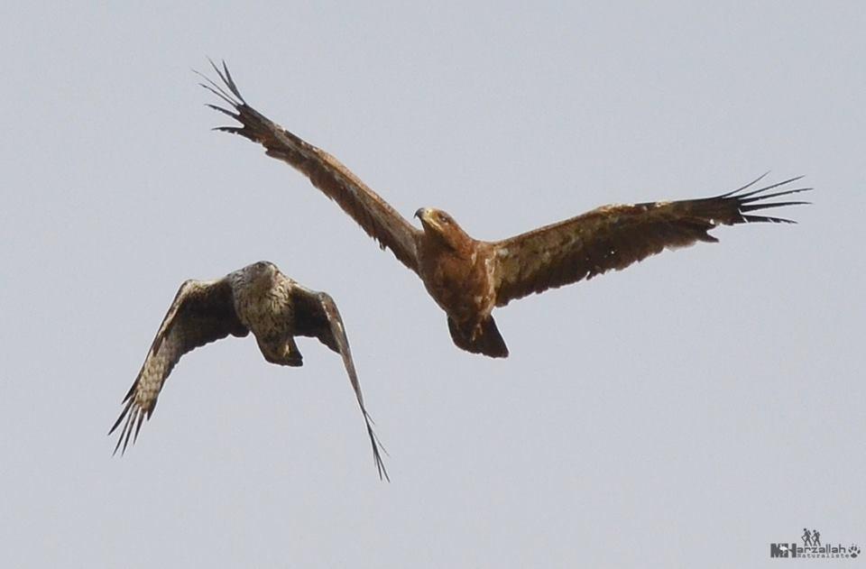 The 'fight' is almost over between the two eagles / Le 'combat' est presque fini entre les deux aigles, NE Algeria, 17 July 2018 (Mourad Harzallah).