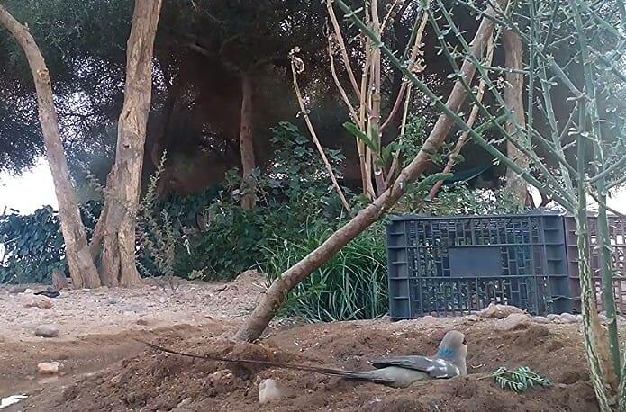 Blue-naped Mousebird (Urocolius macrourus), Tamanrasset region, southern Algeria, 29 July 2018 (Soufyane Bekkouche).