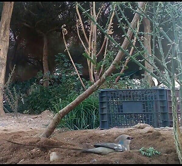 Coliou huppé (Urocolius macrourus), région de Tamanrasset, sud d'Algérie, 29 juillet 2018 (Soufyane Bekkouche).