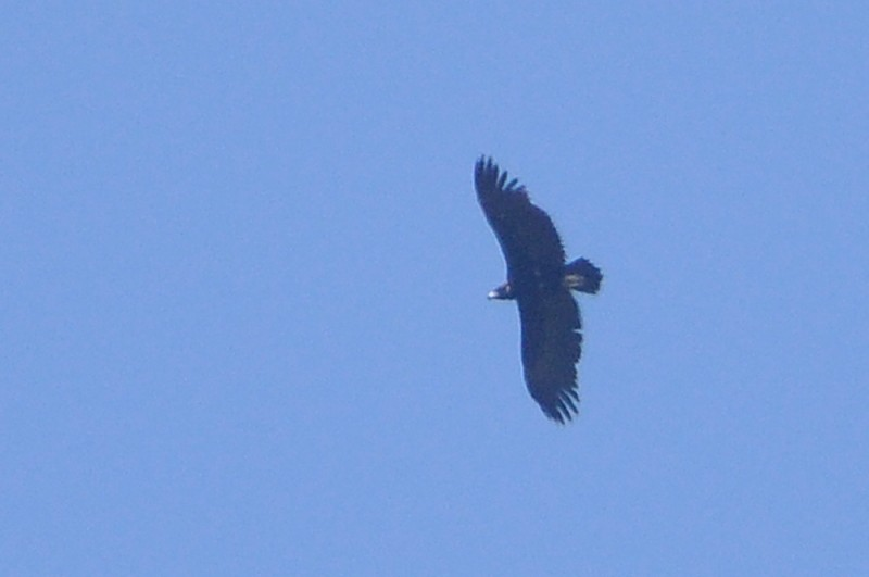 Cinereous Vulture (Aegypius monachus), east of Tanger-Med Port, Strait of Gibraltar, Morocco, 2 May 2018 (R. El Khamlichi).