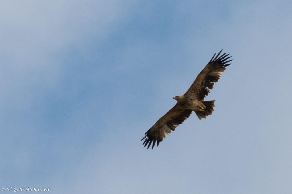 Eastern Imperial Eagle / Aigle impérial (Aquila heliaca), El Haouaria, northern Tunisia, 29 April 2017 (Mohamed El Golli).